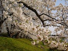 川べり桜_blog.jpg
