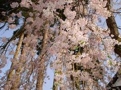 枝垂れ桜内側_blog.jpg