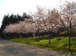 sakura _blog.jpg